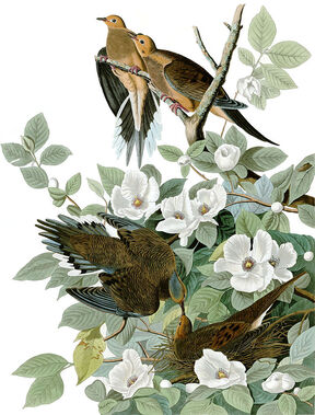 Audubon, Carolina pigeon (Zenaida macroura), now known as a mourning dove, from Birds of America